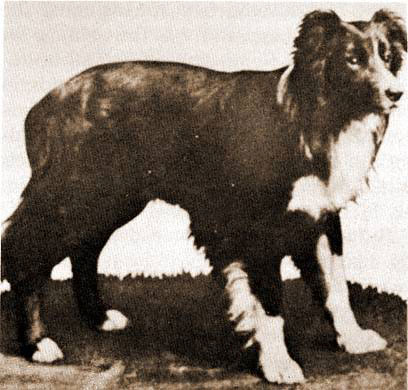 border collie Old Hemp
